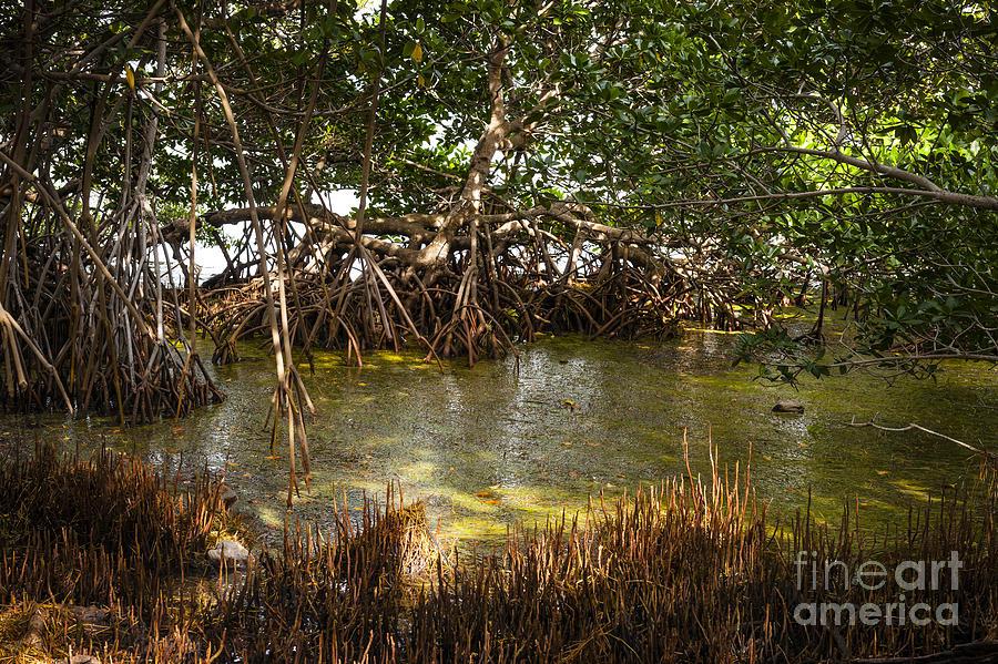 Mangrove Photograph - Sunlight In Mangrove Forest by Elena Elisseeva