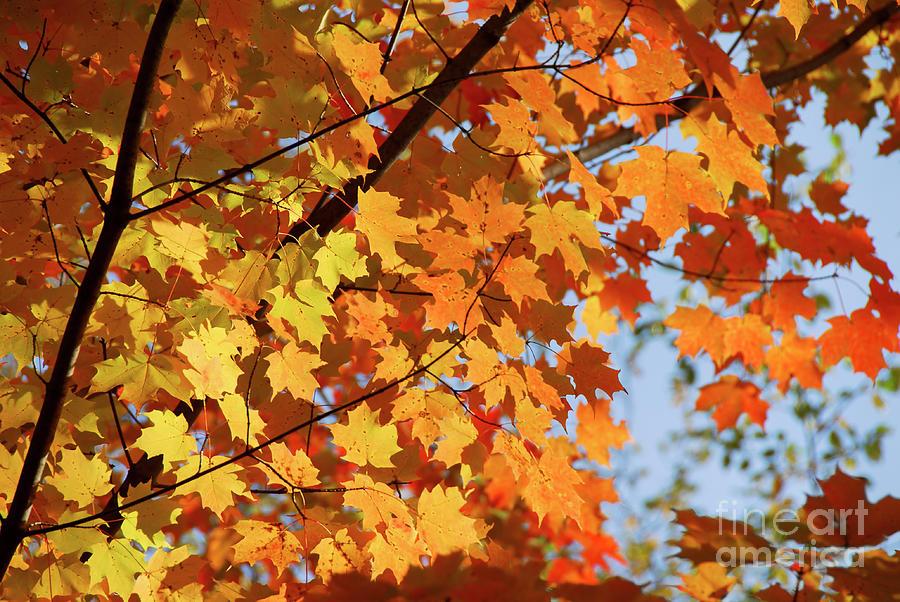 Fall Photograph - Sunlight In Maple Tree by Elena Elisseeva