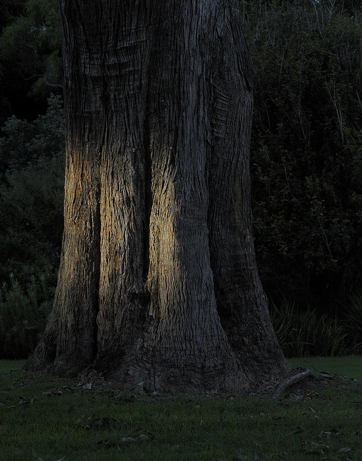 Tree Photograph - Sunlight On Treetrunk by Barry Culling