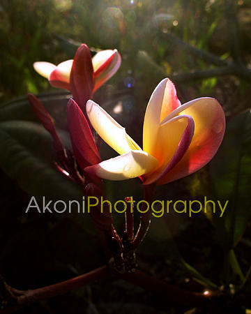 Hawaii Photograph - Sunlight Plumerias  by Anthony Valadon