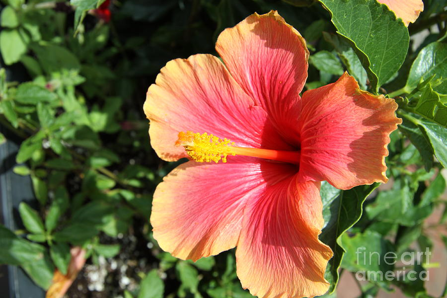 Hibiscus Photograph - Sunlit Beauty by Christiane Schulze Art And Photography