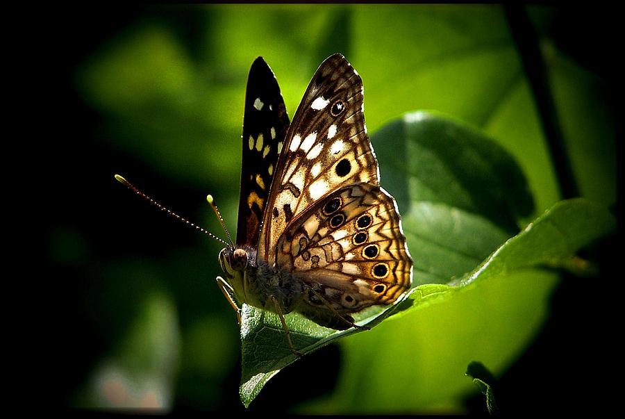 Butterfly Photograph - Sunlit Butterfly by Karen Scovill