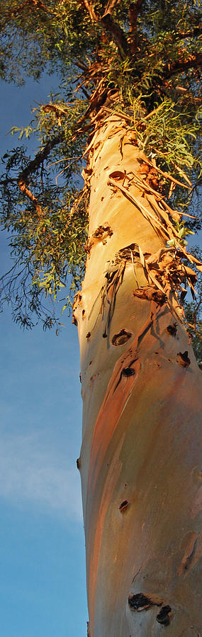 Sunlit Eucalyptus Photograph by Jean Booth