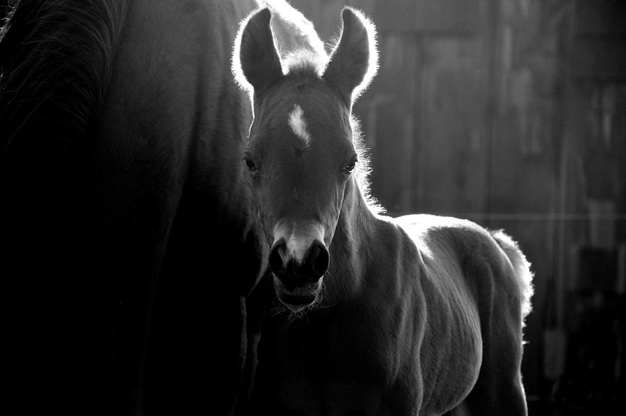 Horses Photograph - Sunlit Foal by Emily Stauring