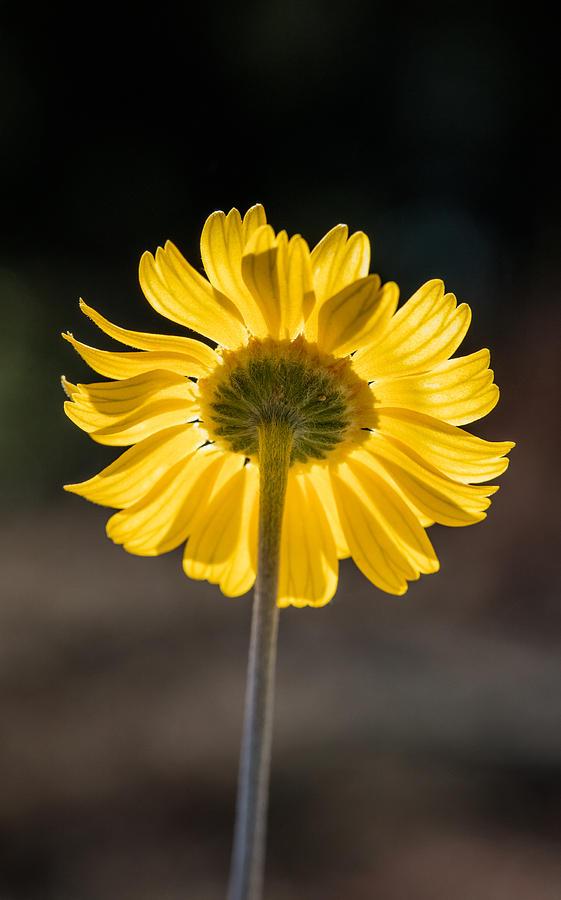 Sunlit Four-Nerve Daisy  by Steven Schwartzman