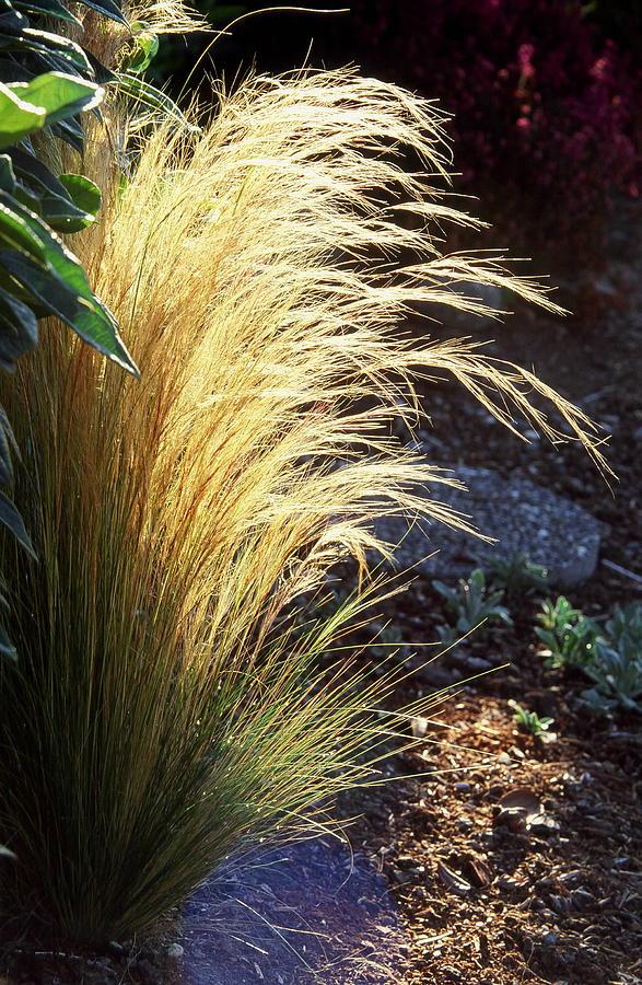 Nature Photograph - Sunlit Grass by Philip Kollen