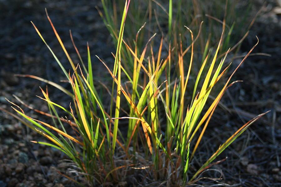 Grass Photograph - Sunlit Grass by Ric Bascobert