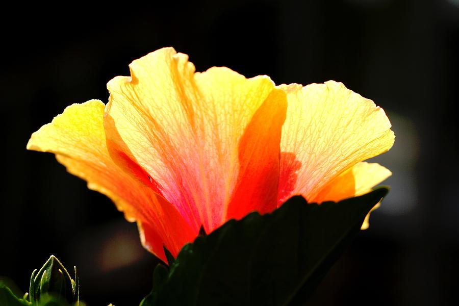 Floral Photograph - Sunlit Hibiscus by Diane Merkle