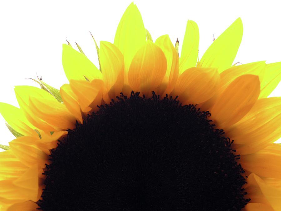 Sunflower Rise Photograph by Joseph Hedaya