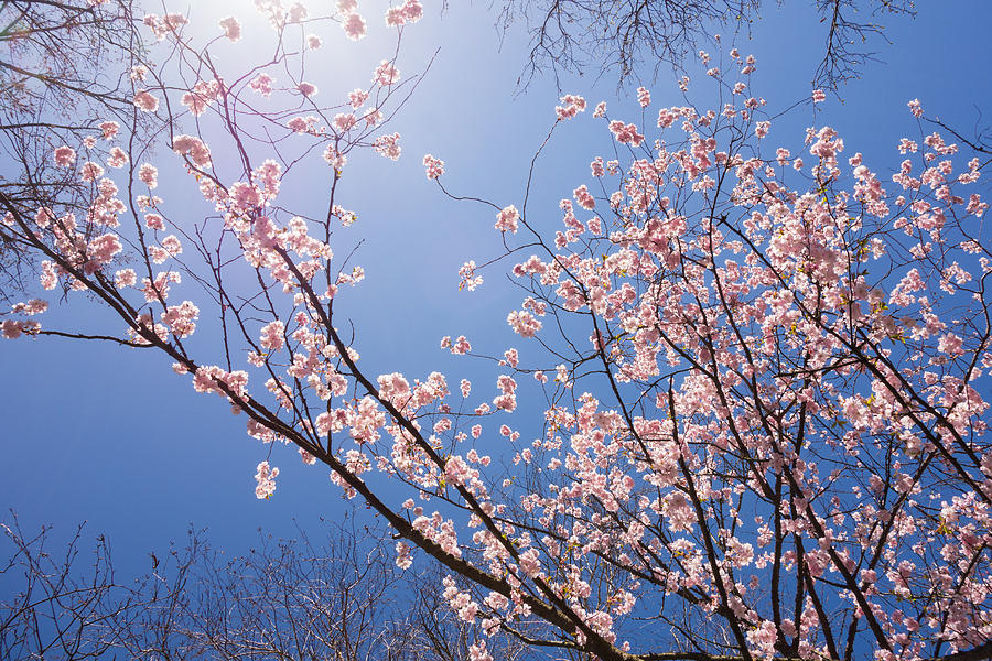 Sunny Day In Spring With Pink Cherry Tree Blossoms Photograph
