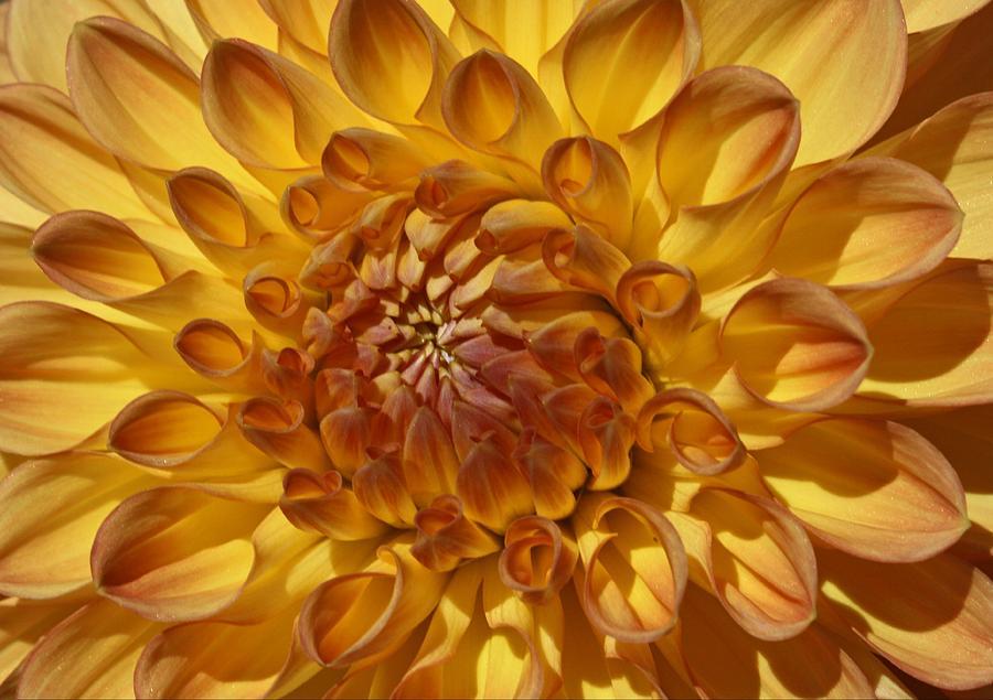 Dahlia Photograph - Sunny Delight by Monnie Ryan