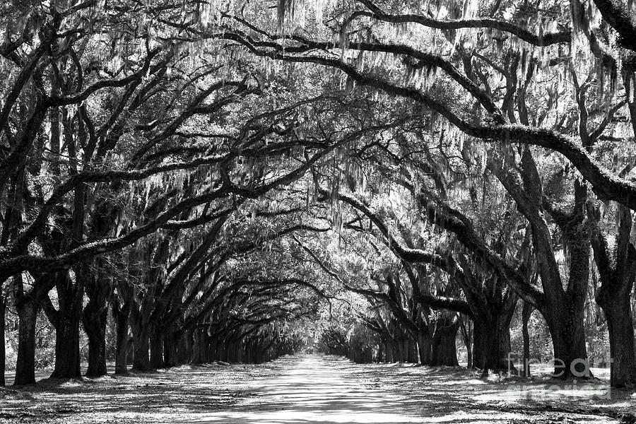 Live Oaks Photograph - Sunny Southern Day - Black And White by Carol Groenen