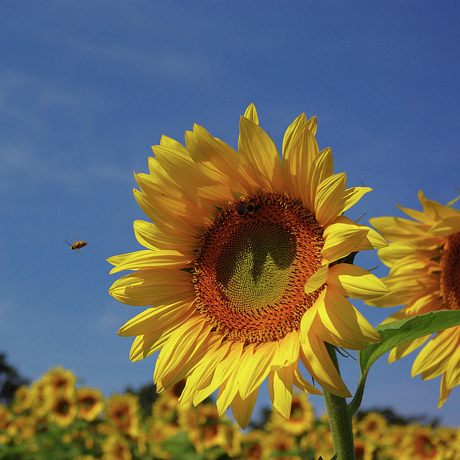 Sunflower Photograph - Sunny Sunflower Soloist With Backup Chorus by R V James