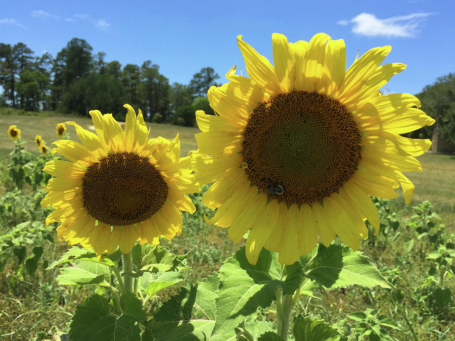 Sunflowers Photograph - Sunny Thoughts by Matthew Seufer