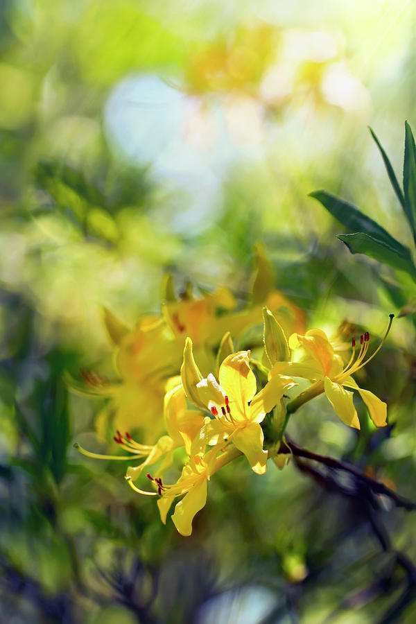 Sunny Yellow Rhododendrons Blooming Spring Colorful Picture