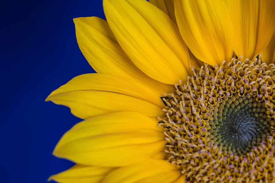 Sunflower Photograph - Sunnyside by Julie Andel