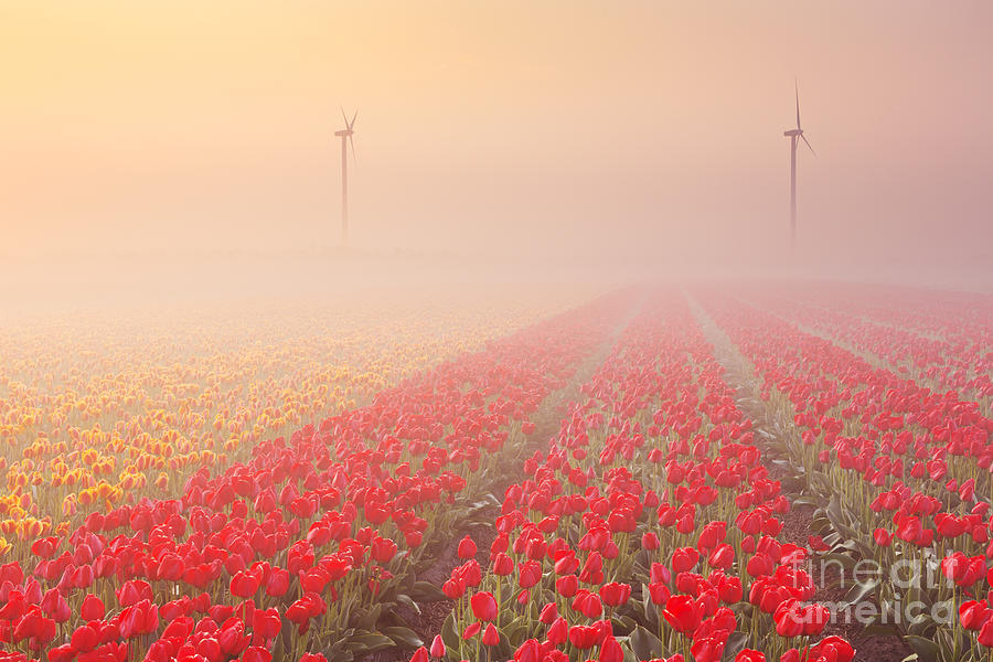 Sunrise And Fog Over Rows Of Blooming Tulips The Netherlands Photograph By Sara Winter