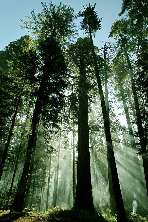 Sequoia National Park Photograph - Sunrise Beams N Sequoia by Rick Pham
