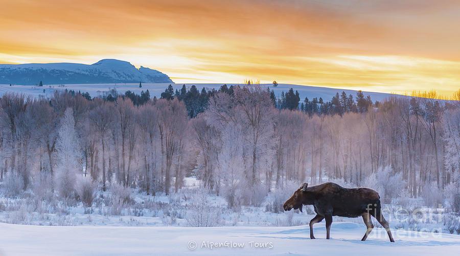 Sunrise Moose by Brad Schwarm
