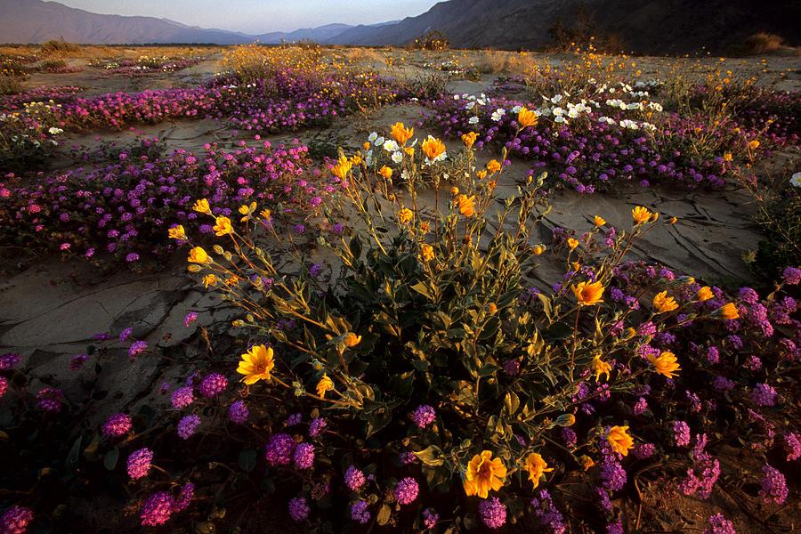 California Photograph - Sunrise On Desert Wildflowers by Tim Laman