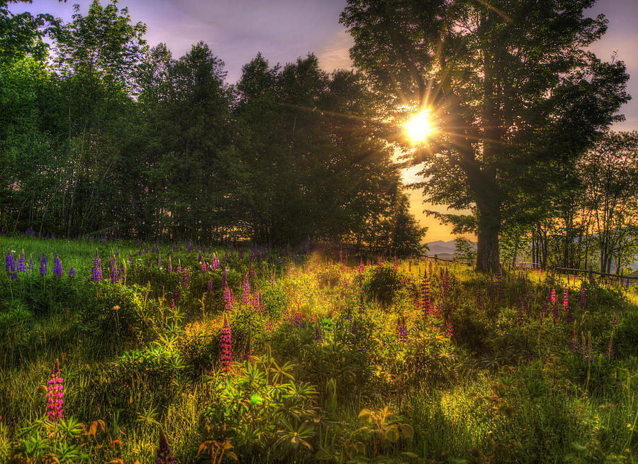 Sunrise Over Lupines - White Mountains Nh Photograph
