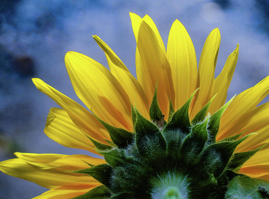 Sunflower Photograph - Sunrise by Pam Kaster