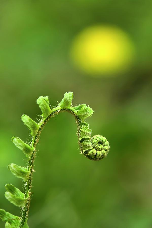 Fern Photograph - Sunrise Spiral Fern by Christina Rollo