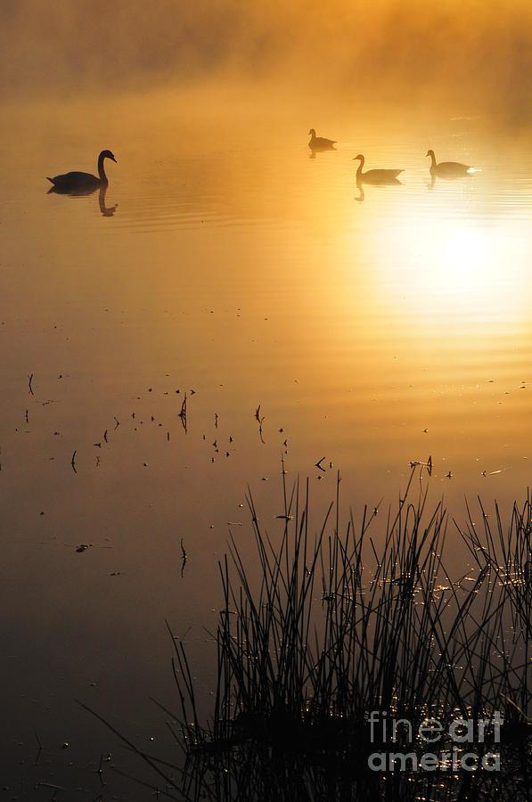 Duck Photograph - Sunrise Swim by Catherine Reusch Daley