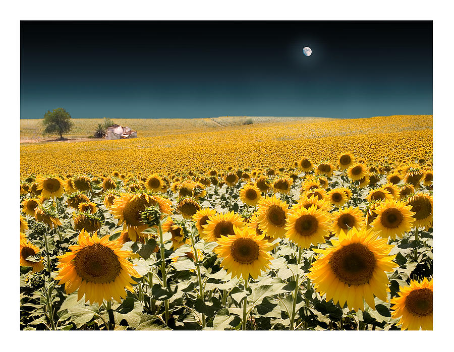 Sunflowers Photograph - Suns And A Moon by Mal Bray