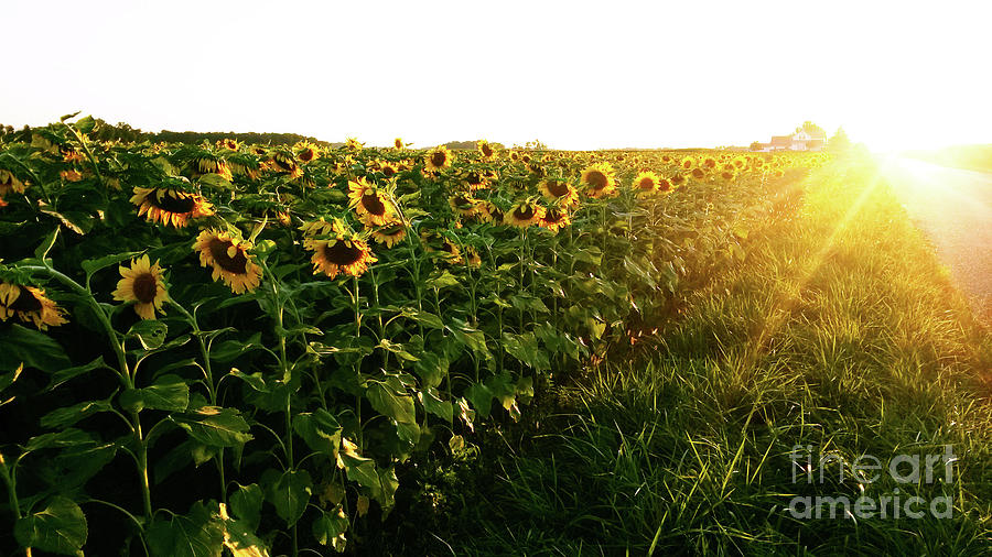 Sunflowers Photograph - Sunset And Rows Of Sunflowers by Tiffany Labas
