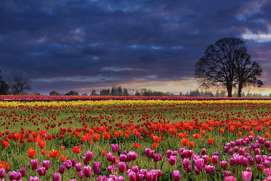 Tulip Photograph - Sunset At Colorful Tulip Field by David Gn