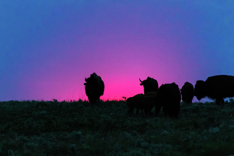 Sunset Bison by Jay Stockhaus