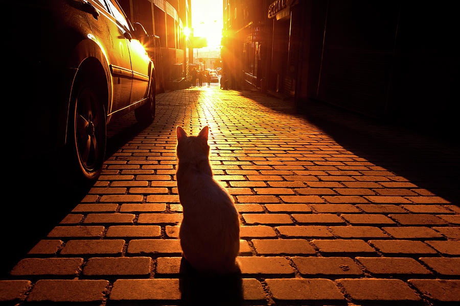 Istanbul Photograph - Sunset Cat by Marji Lang