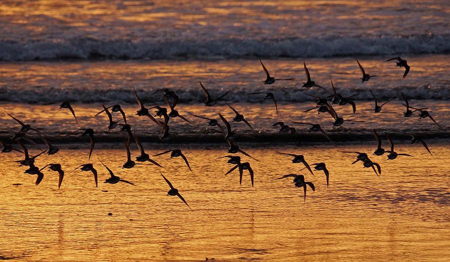 Dunlin Photograph - Sunset Flight by Inge Riis McDonald