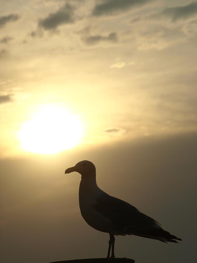 Seagull Photograph - Sunset Gull by Kim