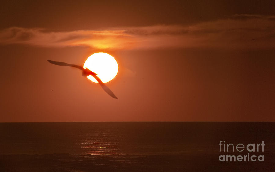 Gull Photograph - Sunset Gull No.1 by Scott Evers