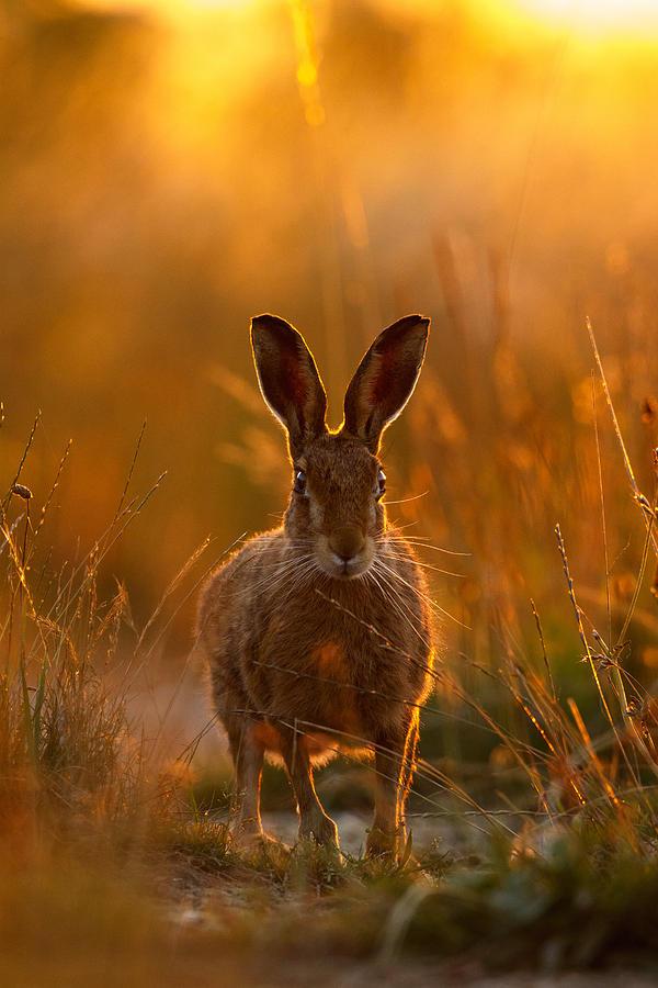 Sunset Hare by Simon Litten
