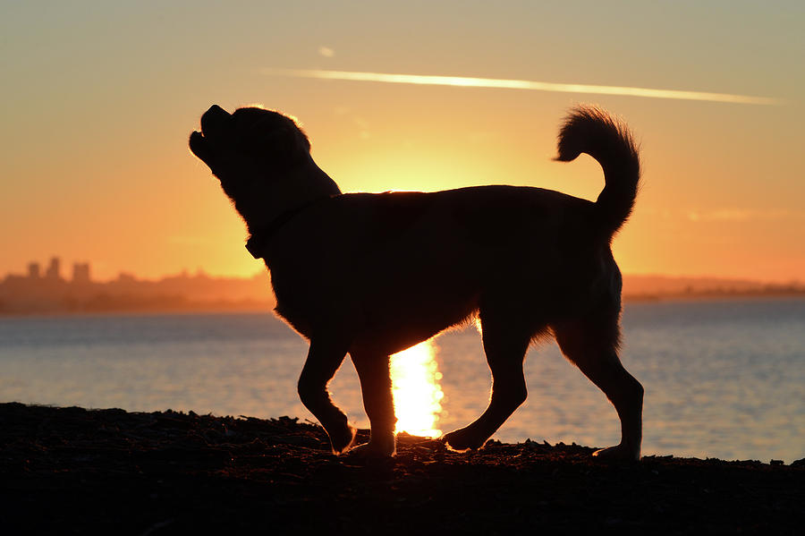 Dogs Photograph - Sunset Howl by Josh Norem