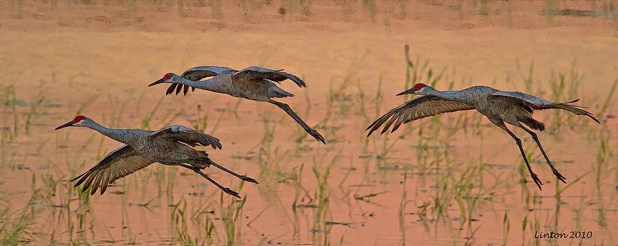 Sandhill Cranes Digital Art - Sunset Landing by Larry Linton