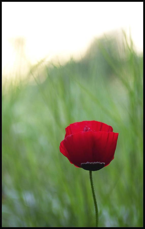 Flower Photograph - Sunset Poppy by Julia Bridget Hayes