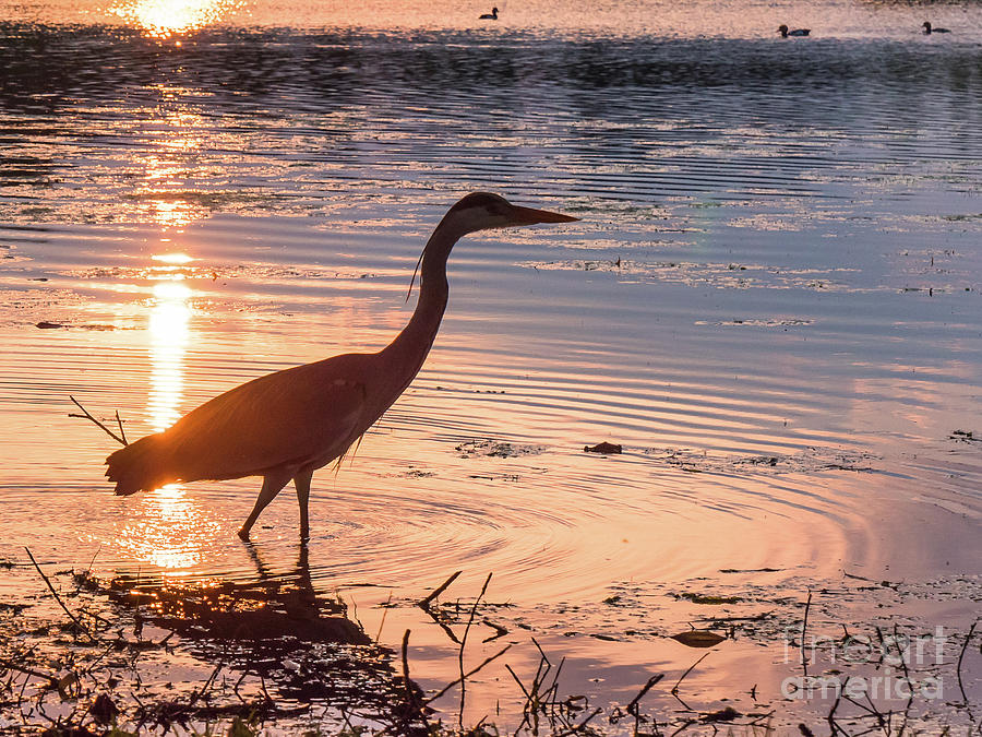 Ardea Cinerea Photograph - Sunset Sentinel by Paul Farnfield