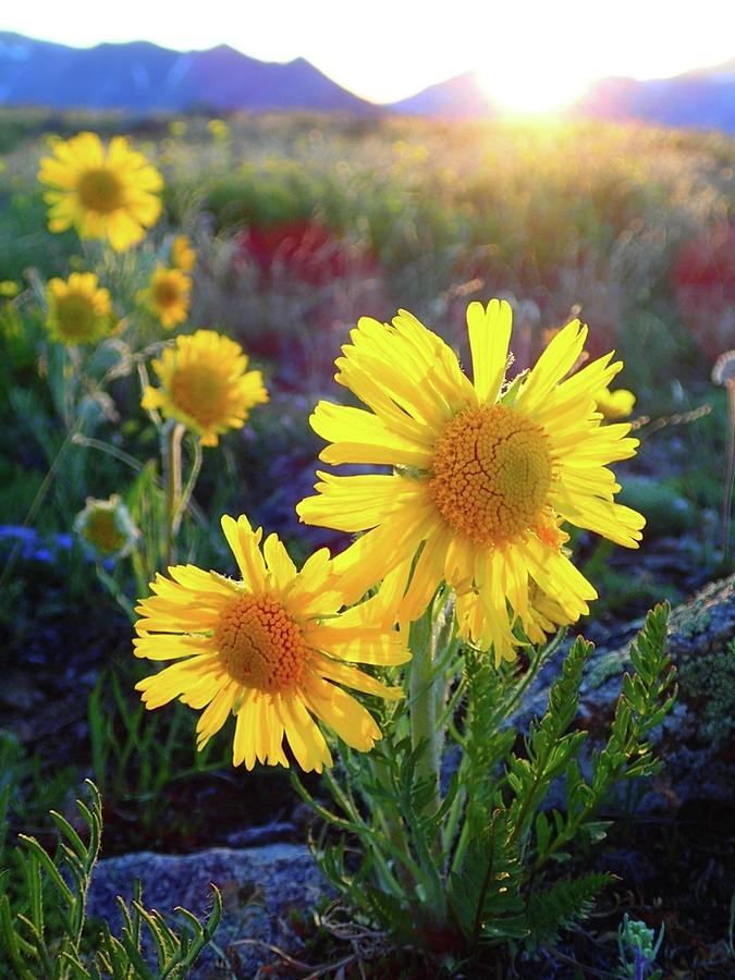 Colorado Photograph - Sunsets And Sunflowers Of Buena Vista 2 by Lora Louise