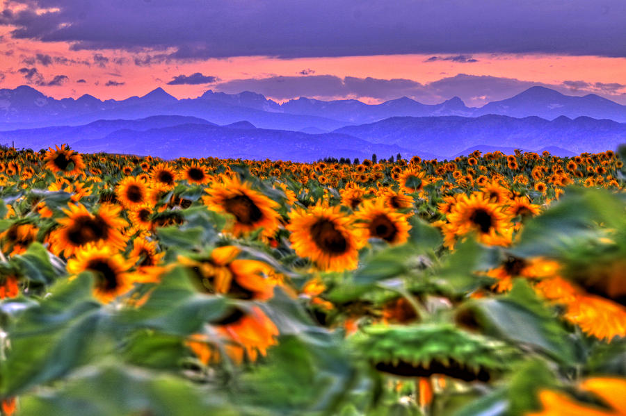 Sunsets Photograph - Sunsets And Sunflowers by Scott Mahon