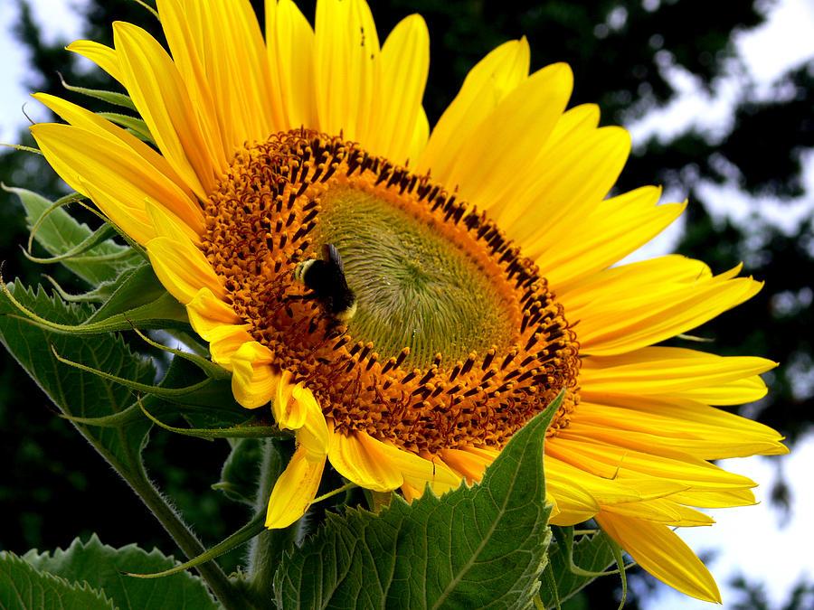 Sunflower Photograph - Sunshine And Nectar by David Gardner