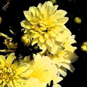 Chrysanthemum Digital Art - Sunshine And Shadow 2 by Patti Gettinger