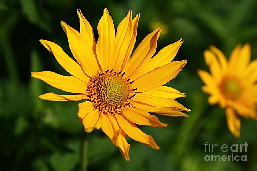 Sunshine Daisy Photograph by Teresa Zieba