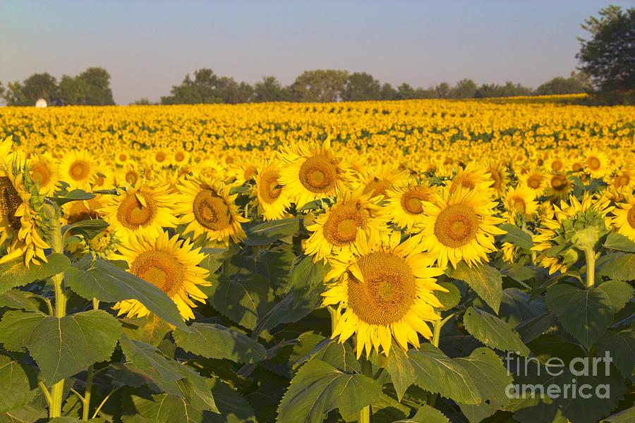 Sunshine Flower Field by Crystal Nederman