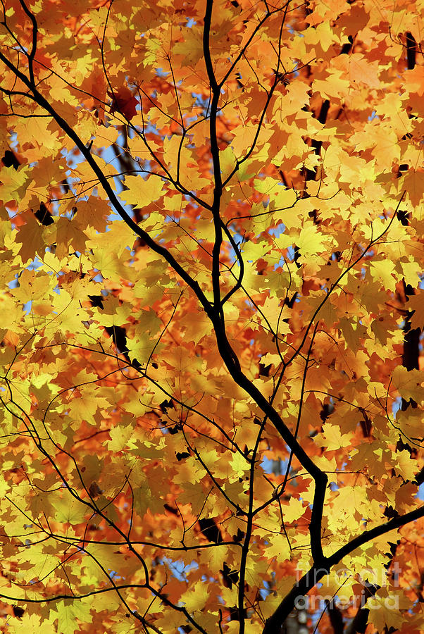 Fall Photograph - Sunshine In Maple Tree by Elena Elisseeva
