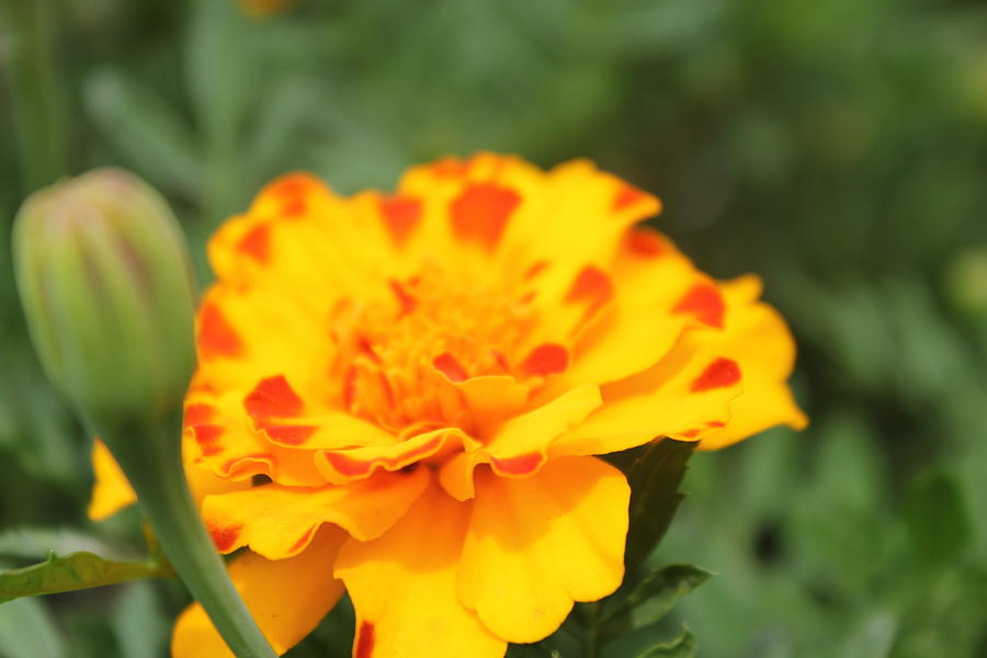 Sunshine Marigold Photograph By Sydney Parkhe