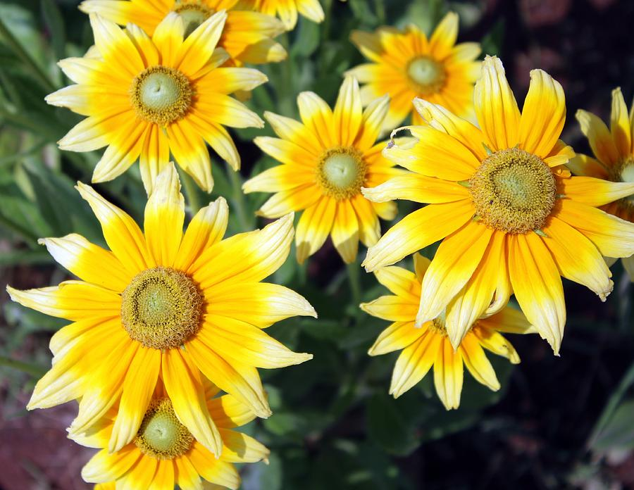 Sunflowers Photograph - Sunshine On A Stem by Darla Wells
